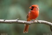Cardinalis_cardinalis005.Chapel_Hill.NC.1.09.2007