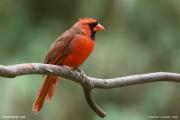Cardinalis_cardinalis007.Chapel_Hill.NC.1.09.2007