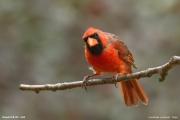 Cardinalis_cardinalis008.Chapel_Hill.NC.3.09.2007