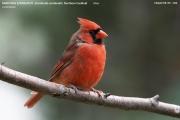 241.043.Cardinalis_cardinalis001.Chapel_Hill.NC.1.09.2007