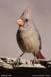 Cardinalis_cardinalis010.Female.Portal.Arizona.USA.MJ.27.03.2013