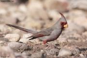 Cardinalis_sinuatus004.Male.Portal.Arizona.USA.MJ.27.03.2013