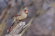 Cardinalis_sinuatus005.Male.Portal.Arizona.USA.MJ.27.03.2013