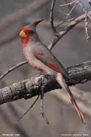 Cardinalis_sinuatus006.Male.Portal.Arizona.USA.MJ.27.03.2013