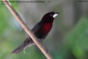 242.103.Ramphocelus_carbo001.Male.Pantanal.Brazylia.10.11.2013