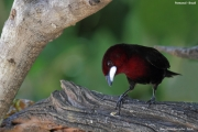 Ramphocelus_carbo002.Male.Pantanal.Brazylia.10.11.2013
