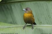 Ramphocelus_passerinii004.Female.Cinchona_near_Poas_Volcano_NP.CR.30.11.2015