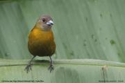 Ramphocelus_passerinii005.Female.Cinchona_near_Poas_Volcano_NP.CR.30.11.2015