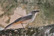 Saltator_coerulescens003.Pantanal.Brazylia.11.11.2013