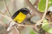 Coereba_flaveola004.Antigua.6.03.2010