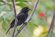 242.251.Loxigilla_noctis001.Male.Antigua.28.02.2010