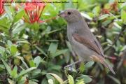 242.251.Loxigilla_noctis002.Female.Antigua.12.03.2010