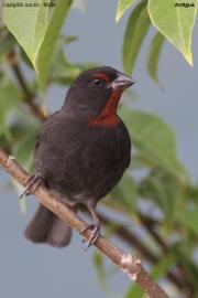 Loxigilla_noctis003.Male.Antigua.28.02.2010