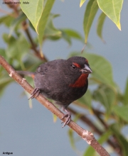 Loxigilla_noctis004.Male.Antigua.28.02.2010