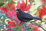 Loxigilla_noctis005.Male.Antigua.1.03.2010