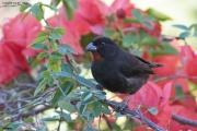 Loxigilla_noctis006.Male.Antigua.1.03.2010