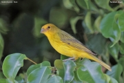 Sicalis_flaveola007.Male.Pantanal.Brazylia.10.11.2013