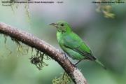 242.009.Chlorophanes_spiza002.Female.Selva_Verde_Lodge.CR.2.12.2015
