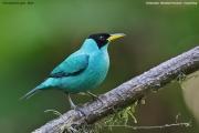 Chlorophanes_spiza004.Male.Selva_Verde_Lodge.CR.2.12.2015