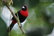 Ramphocelus_sanguinolentus003.Selva_Verde_Lodge.CR.2.12.2015