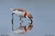Charadrius pallidus venustus003.Lake Natron.Tanzania.20.03.2013