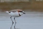 041.028.Charadrius pallidus venustus001.Lake Natron.Tanzania.20.03.2013