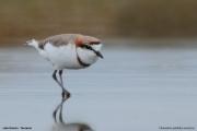 Charadrius pallidus venustus002.Lake Natron.Tanzania.20.03.2013