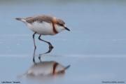 Charadrius pallidus venustus004.Lake Natron.Tanzania.20.03.2013