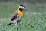 Colaptes_campestris002.Pantanal.Brazylia.13.11.2013