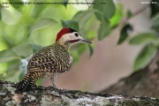 Colaptes_melanochloros001.Male.Pantanal.Brazylia.11.11.2013