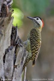 Colaptes_melanochloros002.Female.Pantanal.Brazylia.14.11.2013