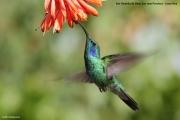 Colibri thalassinus10.San Gerardo de Dota.Costa Rica.9.12.2015