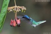 Florisuga mellivora11.Flores.Guapiles.CR.3.12.2015