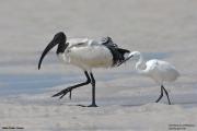 Threskiornis aethiopicus19.Mida Creek.Kenia.PJ.18.09.2011