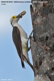 Melanerpes_candidus001.Pantanal.Brazylia.15.11.2013