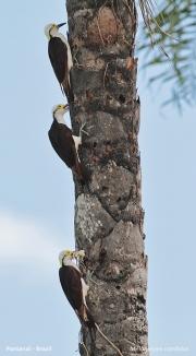 Melanerpes_candidus011.Pantanal.Brazylia.18.11.2013