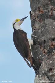 Melanerpes_candidus012.Pantanal.Brazylia.18.11.2013