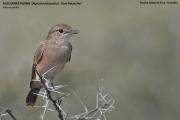 212.044.Agricola_infuscatus001.Etosha_N.P.Namibia.20.02.2014