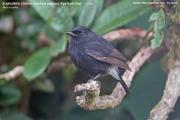 214.265.Saxicola caprata001.Male.Horton Plains.Sri Lanka.5.12.2018
