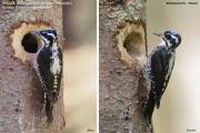 087.Picoides_tridactylus001.Male.Female.Bialowieski_P.N.PJ.26.05.2016