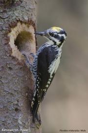 Picoides_tridactylus006.Male.Bialowieski_P.N.MJ.26.05.2016