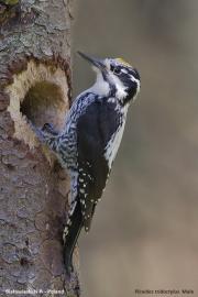 Picoides_tridactylus007.Male.Bialowieski_P.N.MJ.26.05.2016