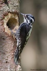 Picoides_tridactylus009.Female.Bialowieski_P.N.MJ.26.05.2016
