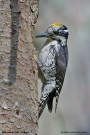 Picoides_tridactylus015.Male.Bialowieski_P.N.MJ.26.05.2016