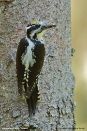 Picoides_tridactylus017.Male.Bialowieski_P.N.MJ.26.05.2016