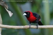 242.099.Ramphocelus sanguinolentus001.Selva Verde Lodge.CR.2.12.2015