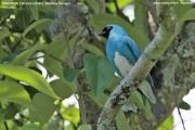 242.117.Tersina viridis001.Male.Iguazu N.P.Argentyna.6.11.2013