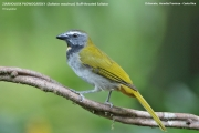 242.169.Saltator maximus001.Selva Verde Lodge.CR.1.12.2015