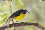 242.241.Coereba flaveola001.Antigua.6.03.2010