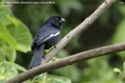 242.246.Melopyrrha nigra001.Cuban Bullfinch.Kuba.7.01.2018